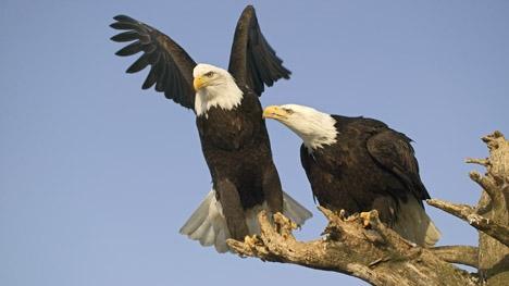 imbold-vultur